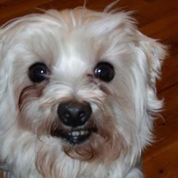 Lost dog on 10 Nov 2014 in Dublin 9. White Terrier missing from DCU area since 10/11/2014.  She has been found :)