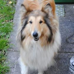 Lost dog on 10 Nov 2014 in kerry. This Beautiful rough collie still missing since 10th November from the listry area. 