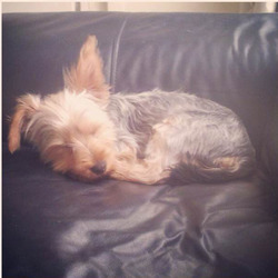 Lost dog on 10 Oct 2013 in Evora Terrace, Howth. Coco is a 10 month old Yorkshire Terrier. She got loose out of the back garden in Howth. Evora Terrace. She has no collar on but is chipped and neutered.