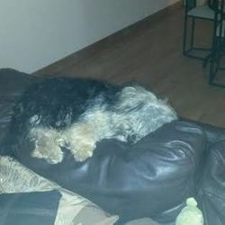 Lost dog on 10 Oct 2014 in Kildare. Brown and black yorkie/bichon cross went missing in Carbury area 3 weeks ago...his twin brother is missing him very badly...answers to Dyson...