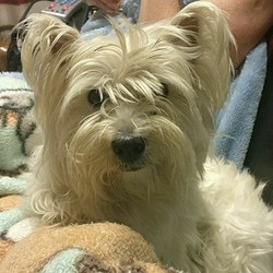 Lost dog on 11 Aug 2017 in Donoughmore, Cork. White, female, 7 Yr old, neutered West Highland terrier.