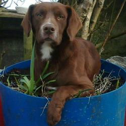 Lost dog on 11 Dec 2012 in Galway. Male chocolate color springer/lab with white chest missing