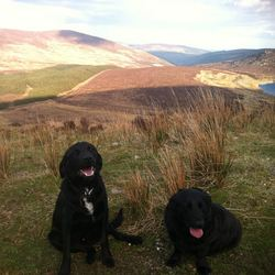 Lost dog on 11 Feb 2014 in Wicklow mountains. Black Labrador puppy, 1 and a half years old. Friendly and playful. Dog on the left.