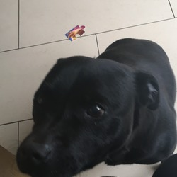 Lost dog on 11 Feb 2017 in Dublin 20. Lovely friendly dog.black male staff very shy with people he dose not know .missing from Palmerstown Dublin 20 he is 7 years old he is a family dog