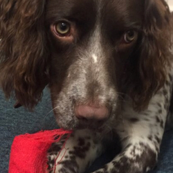 Lost dog on 11 Feb 2018 in Dublin 18. Liver and white springer spaniel lost 11th feb 2018, Foxrock Dublin 18