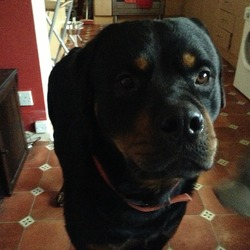 Lost dog on 11 Jan 2013 in Lisburn , Northern Ireland . Our male Rottweiler went missing from our home (along the old ballynahinch road,Lisburn) 11/01/13 at around 11.30am we have not seen him since.