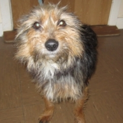 Lost dog on 11 Jan 2014 in Rush, Co Dublin. PLEASE SHARE !!!!CAIRO CAIRO, MALE CAIRN TERRIES X, BROWN BALCK REN AWAY TODAY AT 14.00 FROM KNOCKABAWN RUSH. HE IS FRIENDLY AND MIGHT HAVE FOLLOWED SOMEONE. PLEASE RING 0878791518