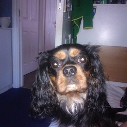 Lost dog on 11 Jan 2014 in Sandyford. Missing-Male .1 yr old Black and Tan king Charles .he is microchipped.