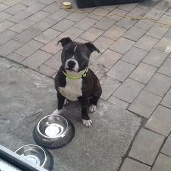 Lost dog on 11 Jul 2014 in Donaghmede. Lost Dog. Answers To Bruno. Lost around the Kilbarrack/Donaghmede area on the 11th. Chocolate brown brindle with with paws, belly and white markings on the face. 2years old, quite muscular. Please contact Anita on 0851390405 if found. thank you.