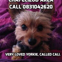 Lost dog on 11 Mar 2014 in Chapelizod 20. ***MISSING DOG PLEASE HELP***  Small Yorkie called Cali has gone missing in the Chapelizod area since 2pm today 11th March, lost from the Steeples apartments. Distraught owner is pleading for help to find her. She is a house dog so will be very very frightened. Chipped & collared. Call Shelley on 0831042620 or Steve on 0851417469 PLEASE SHARE!!
