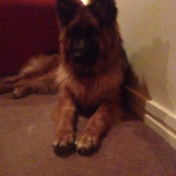 Lost dog on 11 Mar 2017 in Meath. German Shep female (10 months) and 6yr old Samoyed missing from Dunboyne, Co Meath area. Last seen together at their home at 9am on Sat 11/03/17.