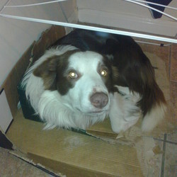 Lost dog on 11 May 2013 in Meath-Kells area. Missing Border Collie-Meath area