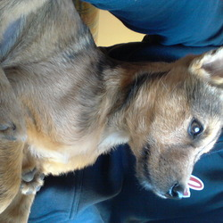 Lost dog on 11 Oct 2011 in Cork. 5 month old terrier cross, golden colour, black tail, black collar. I miss him so much, please help. REWARD