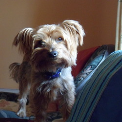 Lost dog on 11 Oct 2012 in Portlaoise. Yorkshire terrier, male, 7 years old, silver, & tan. missing from Ridge Road Portlaoise, Reward offered . 0877467216