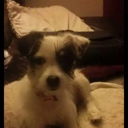 Lost dog on 11 Sep 2015 in Wicklow. Female cross terrier lost 11th September in Rathdrum, Wicklow - well loved by a family with 3 young children - chipped and neutered
