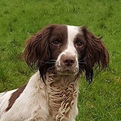 Lost dog on 11 Sep 2017 in UPPER ROCHESTOWN. LOST/STOLEN, UPPER ROCHESTOWN, CO CORK. TWO LIVER+WHITE SPRINGER SPANIELS, BOTH MALE AND ARE MICROCHIPPED, PHONE:0874127191 *REWARD*