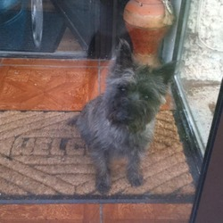 Lost dog on 12 Apr 2013 in Finglas West, Dublin 11. +++MSSING DOG IN FINGAS+++ Cairn Terrier answers to name of Pepper was lost this afternoon n the Finglas area on Friday 12th Februay afternoon. Has been spotted in the Finglas area. Please contact me with any information. LARGE CASH REWARD !!!!!