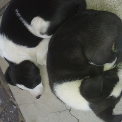Lost dog on 12 Apr 2018 in Lindhaven. Black and white mix of Collie border & jack Russell puppies lost please call Lingi 0767067702