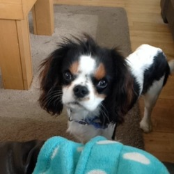 Lost dog on 12 Dec 2013 in Black road skeheenarinky Co. Tipperary. Black and white, brown above the eyes