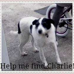 Lost dog on 12 Feb 2015 in Callan County Kilkenny. Female, fox terrier mixed breed, white and black,wiry fur, lost in Callan, County Kilkenny