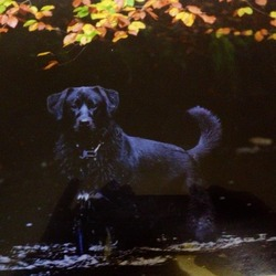 Lost dog on 12 Jan 2013 in Rosenallis, co laois. Junior,  black Labrador cross,  with white mark on chest and paw as.  Missing since sat 12/1/2013 from glenbarrow, rosenallis, laois.   Family pet.  Contact.  0866022600
