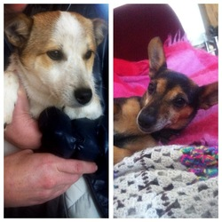 Lost dog on 12 Jul 0013 in Ashford Wicklow. MISSING/STOLEN:WICKLOW Please help us find two little jack russels, one is a black and tan female, she is miniature and aged 6. The other is a boy white and tan who is microchipped, he is about 6months and was rescued from the pound. Went missing in Ashford Wicklow last friday evening. Family are devastated . Please help, any information call 0861973419