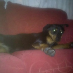Lost dog on 12 Jul 2014 in Dublin 11. 1 year old Rottweiler taken from back garden in finglas. Her name is sandy. If anyone has any information please call or text 0858835604