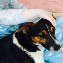 Lost dog on 12 Jun 2015 in limerick. Archie, a black and white male Jack Russell with brown facial patches. Was wearing a brown collar. Missing from West Limerick since Friday 12 June.