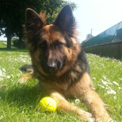 Lost dog on 12 Jun 2016 in Dublin 7. Female German Shepherd (long haired) about a year old. Lost in Phibsboro Dublin 7 Sunday night 12th June. Friendly girl but not wearing her collar. Please HELP!!! Call Fina 0862040932
