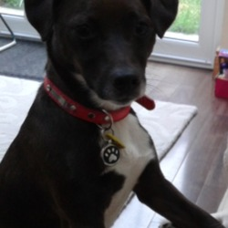 Lost dog on 12 Jun 2016 in Lucan. Small dark brown terrier cross, 2 year old, lost at woodies bus stop Lucan.