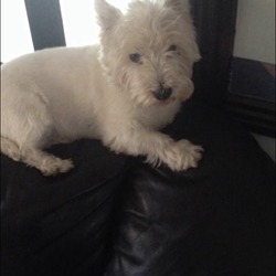 Lost dog on 12 Jun 2016 in Lucan Dublin . Missing since 12th June White westhyland terrier red Liverpool coller female is microchipped
