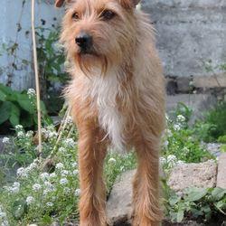 Reunited dog 12 Jun 2017 in Grangegorman Upper, Dublin 7. Missing from Grangegorman Upper, Dublin 7.