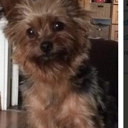 Lost dog on 12 Nov 2014 in cavan. lost yorkshire dog missing In cavan butlersbridge/cloverhill area this dog has been missing since Sunday and needs to be found all help would be greatly appericated call 0863611990
