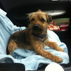 Lost dog on 12 Nov 2014 in Oldcastle, Meath . Tonnta was lost from Oldcastle Co.Meath on the 12 of Nov. He is a border terrier and is chipped.