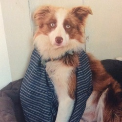 Lost dog on 12 Nov 2015 in Fohenagh. Female brown white Border Collie missing since thunderstorm last week(12/11) from Fohenagh/Ahascragh, Ballinasloe, medium sized, wears muzzle