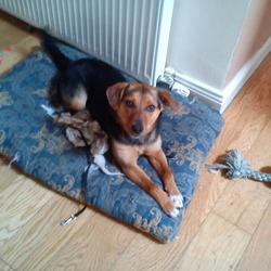 Lost dog on 12 Oct 2011 in Forestry behind Bohernabreena. Black & Tan terrier x, lost in the forest behind Bohernabreena near the military road. Her name is Honey & she has a tag with my number and is chipped. Please contact 0876300355