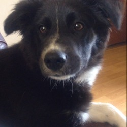 Lost dog on 12 Sep 2015 in Swords, Dublin. Female pup (almost 5months old),