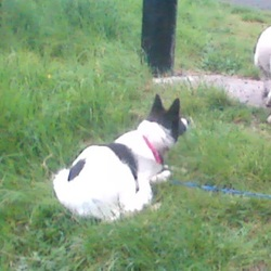Lost dog on 12 Sep 2017 in Bohernabreena. Collie lost or stolen in Bohernabreena area. Was wearing a petsafe fence collar. 0872564146