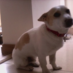 Lost dog on 13 Apr 2013 in palmerstown. Jack russell cross. White and lemon