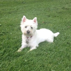 Lost dog on 13 Dec 2013 in Dublin 8/Liberties. Westie - Molly. Lost from Cork Street area of Liberties, Dublin 8. Very timid & friendly. Does not know area at all - no road sense. Please help. Thank you so much.