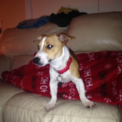 Found dog on 13 Dec 2014 in Galway. Jack Russell terrier missing from Doughiska area in Galway. 10 months old answers to the name Cooper. Very friendly.