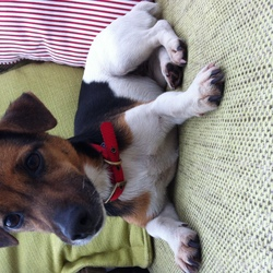 Lost dog on 13 Dec 2017 in Saggart/Rathcoole . Jack Russell black and white terrier with red collar. Missing from Red Gap area above Saggart/ Rathcoole 