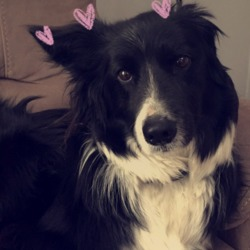 Lost dog on 13 Jan 2018 in Glasnevin. Trix - lost Saturday. Found thanks to the lovely O'Donnell family.