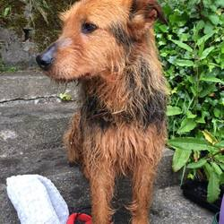 Lost dog on 13 Jul 2016 in Cork City Centre. Brown and Tan, wire haired female, very friendly, very loved, very missed. She is microchipped and has an id tag. Lost in Cork City.please call 0871215129 if you see her.