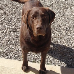 Lost dog on 13 Jun 2013 in Louth. 4+ CHOC LAB POSS STOLEN FROM COLLON,CO.LOUTH ON 13th June. Very friendly large breed of choc lab.Has tiniest old scar on nostril. He is chipped and registered also had camouflage collar on when missing. Reward offered for his return owners broken hearted much valued special dog