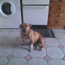 Lost dog on 13 Jun 2013 in Swords, Dublin. The dogs name is Gilly, is Brown/Orange in colour, is small in size, very friendly, and has white paws, with a cut tail