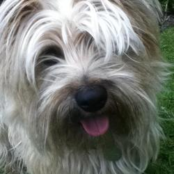 Lost dog on 13 Mar 2012 in Ballyvolane, Cork.. Female Cairn Terrior. Lost on the 13/03/12 in the glen park in Ballyvolane at approx 10.45. She is a small golden/blonde shaggy dog. Extremly friendly, loves attention. Please ring 086-8981238 087-4175163 or 021-4509075 if found.She is wearing a color with an ID tag also. She is chipped and spayed.