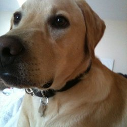 Lost dog on 13 Mar 2012 in Dublin. This is Ollie! He's a 16 month old labrador. He went missing in glencullen Dublin. 18 yesterday. He is micro chipped and neutered and is a very big dog for his age
