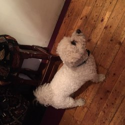 Lost dog on 13 Mar 2016 in Ahascragh Ballinasloe Co Galway . Tyson 4yr old Bichon Frise  wearing blue and green collar. Microchipped