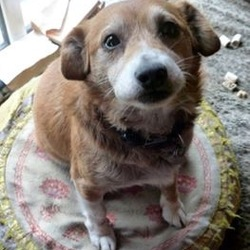 Lost dog on 13 Nov 2014 in Near Delvin, Co. Westmeath. Male Corgi Cross, aged 10. Is wearing collar with tags and is microchipped  R.I.P. - poor little fella was found knocked down